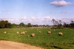 Photo of Sheep in Field.